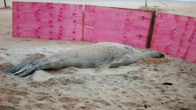 Elefante-marinho Fred vai passar por tratamento no Espírito Santo (Foto: Reprodução/ TV Gazeta)