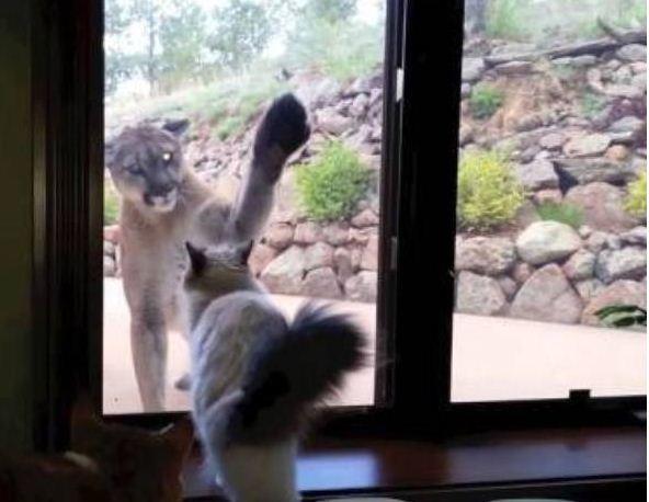 Gato leão (Foto: Reprodução)