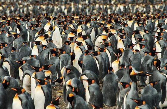 Um grupo numeroso de pinguins-reis (Aptenodytes patagonicus) na Antártida  (Foto: © Haroldo Palo Jr)