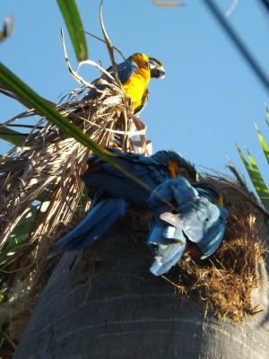 Araras-canindé fizeram ninho em palmeira no quintal de professora (Foto: Cássia Rocha/Arquivo Pessoal)