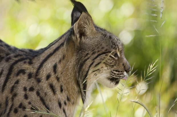 Lince ibérico, espécie de felino mais ameaçada de extinção, pode ser erradicada em 50 anos devido a mudanças climáticas. (Foto:  CSIC Andalusia Audiovisual Bank/ Héctor Garrido)