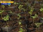 Horto do Sul de SC distribui mudas de planta para combate a mosquito