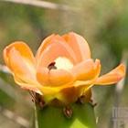 Flor desabrocha em espécie  de cacto (Reprodução/RBS TV)