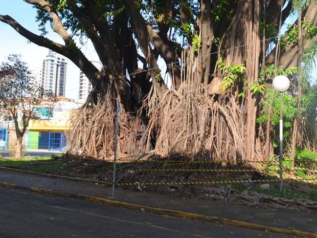 Árvore é incendiada no Centro de Piracicaba (Foto: Carol Giantomaso/G1)