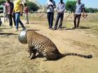 Leopardo com sede prende cabeça em pote de metal na Índia