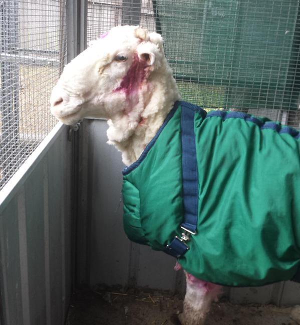 A ovelha está em observação e, em alguns dias, será disponibilizada para adoção (FOTO: REPRODUÇÃO/TWITTER)