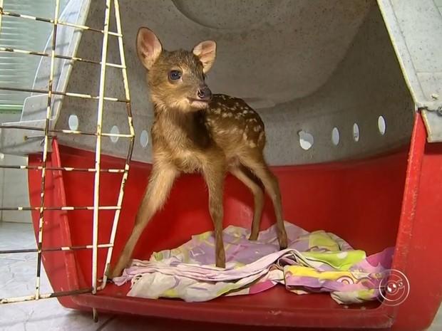 Filhote deverá voltar à natureza após tratamento (Foto: Reprodução/TV TEM)