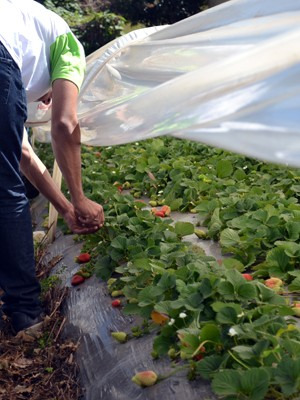 Cerca de 30 famílias trabalham com morangos orgânicos no Sul de Minas (Foto: Daniela Ayres/ G1)