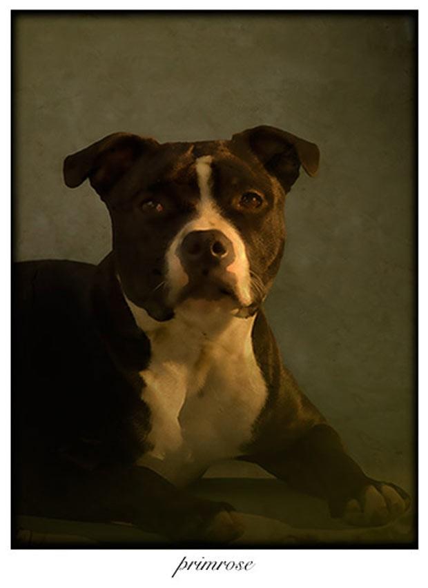Com uma luz lateral, no retrato de Primrose, o fotógrafo precisou de paciência para esperar o momento exato e captar a expressão canina que queria (Foto: Andrew Pinkham)