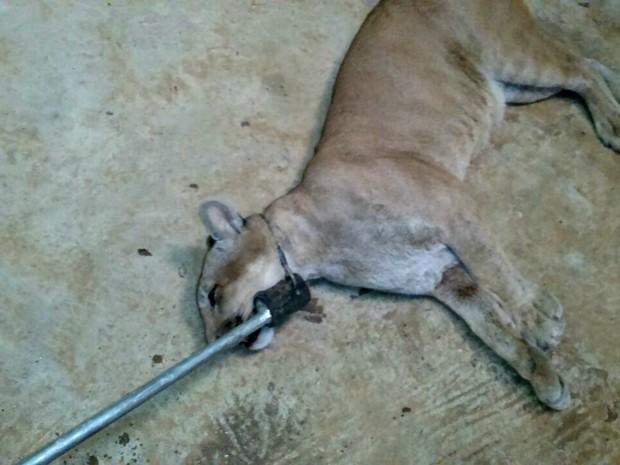 Onça-parda foi recapturado com um cambão no Parque Chico Mendes  (Foto: Divulgação/Batalhão Ambiental )