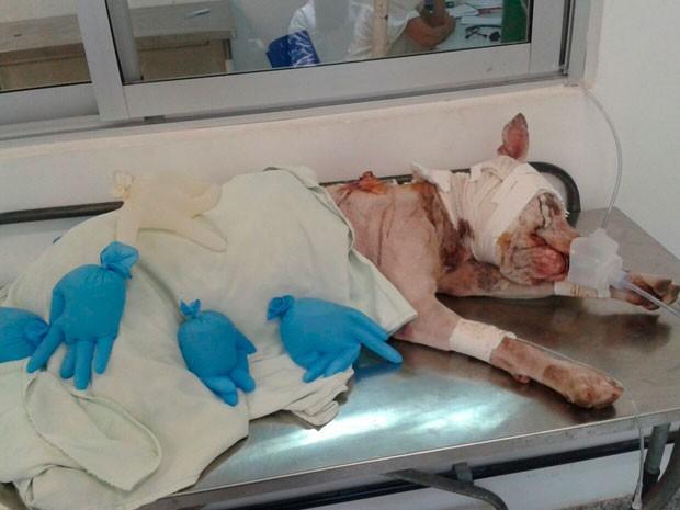 Pit Bull foi agredido por moradores na Bahia (Foto: Luis Filipe Sigrist/Arquivo Pessoal)