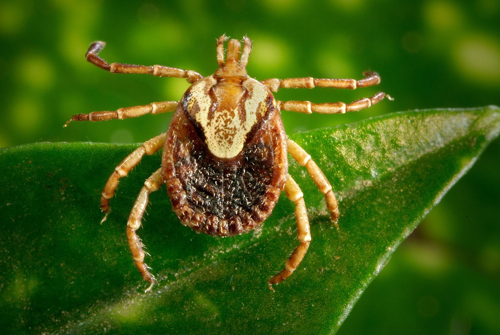 Carrapato-estrela é o responsável por transmitir a febre maculosa
