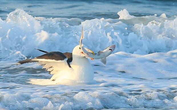 Gaivota foi flagrada devorando pequeno tubarão na Nova Jérsei (Foto: Reprodução/Imgur/Schrammalot)