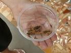 Temperatura 'ajuda' em proliferação de insetos no noroeste paulista