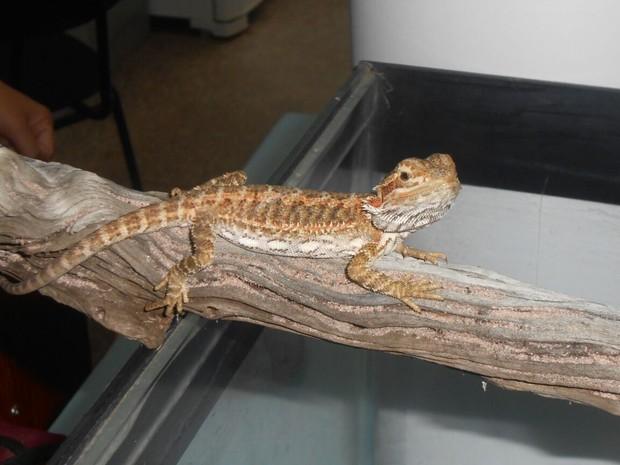 Lagartos foram identificados pela UFMT como da espécie Pogona vitticeps (Foto: Divulgação/Ibama-MT)