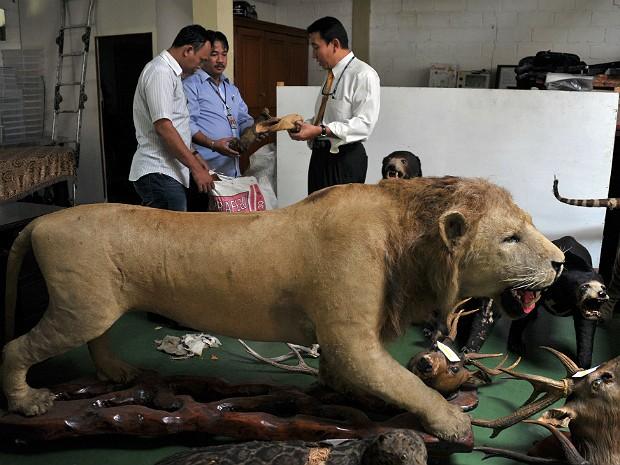 Tigres sumatra 3 (Foto: Bay Ismoyo/AFP)