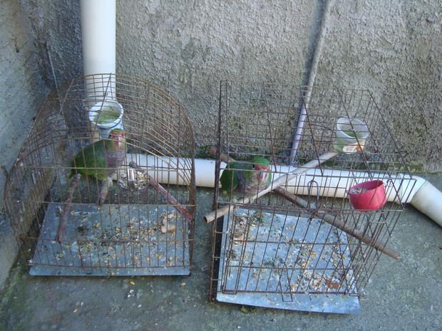 Papagaio-de-peito-roxo foram apreendidos em gaiolas (Foto: Juliano Rodrigues/divulgação)
