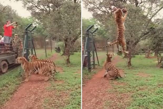 Tigre deu salto impressionante para pegar pedaço de carne (Foto: Reprodução/YouTube/Khurram Rasheed)
