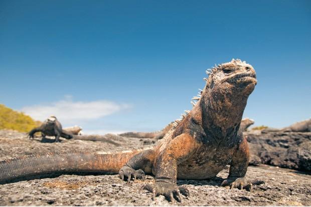 CONSERVAÇÃO Iguana numa ilha de Galápagos. Para proteger a espécie, foram criados projetos de erradicação de cães, gatos e outros animais   (Foto: Stuart Westmorland/Getty Images)
