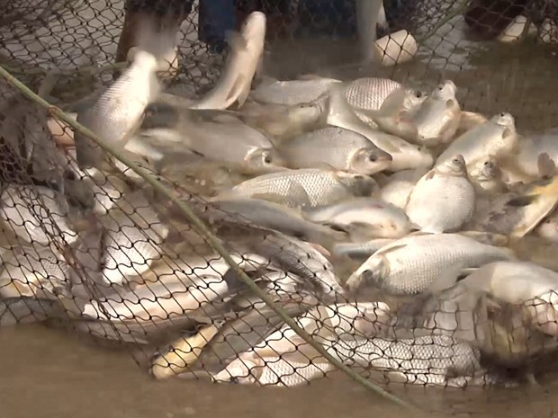 Lucro de quem investe na criação de peixes no Vale do Pindaré é alta no Maranhão (Foto: Reprodução/TV Mirante)