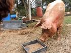 Porcas do Rodoanel dão cria e deixam ativista em 'pânico': 'Falta verba', diz