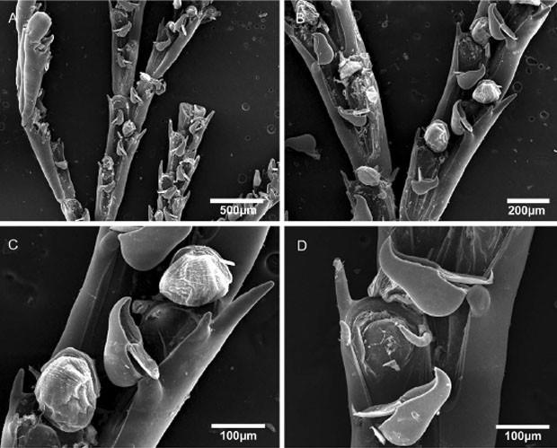 """Espécie de briozoário 'Bugula bowiei', identificada por cientistas no litoral brasileiro (Foto: Reprodução/""""PLoS One"""")"""