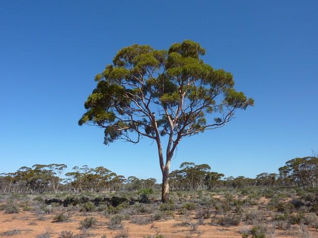 Eucalipto no deserto australiano (Foto: Mel Lintern/Nature)