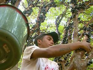 Produtores de jabuticaba de Casa Branca comemoram a safra recorde deste ano (Foto: Oscar Herculano Jr/ EPTV)