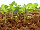 Atraso no plantio da soja no MT pode comprometer as próximas culturas