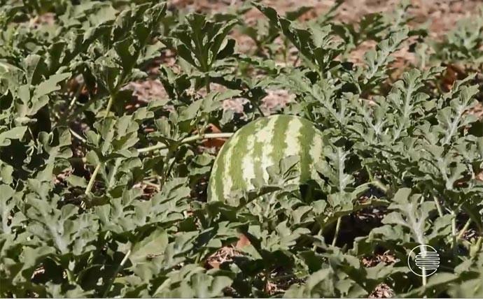 Cidade leva nome do Jatobá, mas se destaca pela produção de melancia (Foto: Reprodução/Rede Clube)