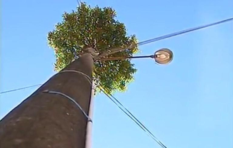 Árvore cresceu em cima de poste (Foto: Reprodução/RBS TV)
