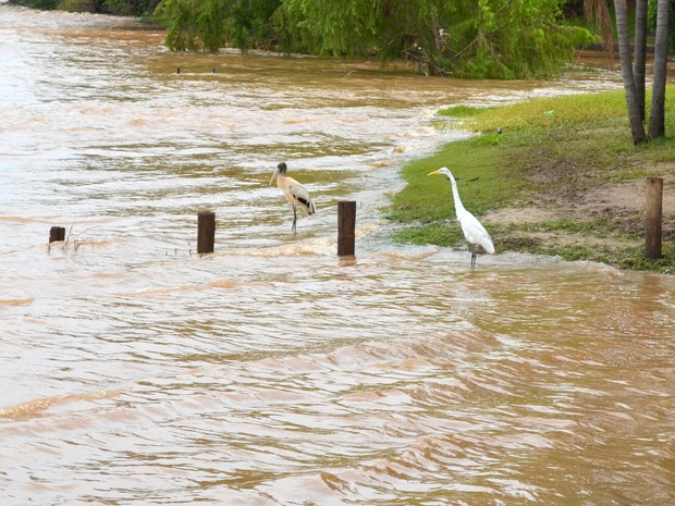Aves no Rio Piracicaba (Foto: Carol Giantomaso/G1)