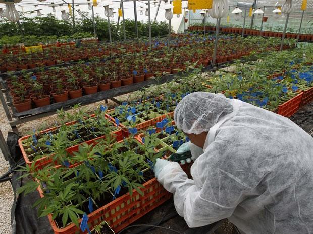 Plantação de maconha medicinal é mantida sob sigilo na região da Galiléia, em Israel. (Foto: Baz Ratner/Reuters)