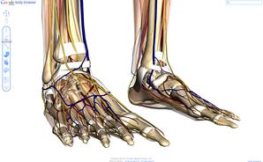Estude o corpo humano com Google Body Browser