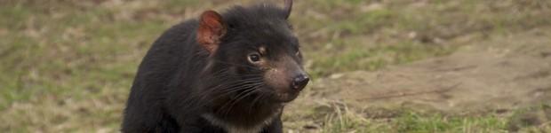 A Jornada da Vida leva você à ilha da Tasmânia, casa de bichos fascinantes (Rede Globo)