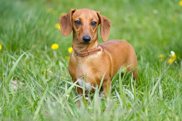 Beautiful dachshund on the green grass (Foto: Getty Images/iStockphoto)