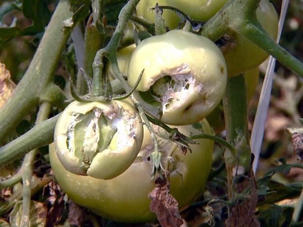 Tomates perdidos no ponto de colheita por causa da chuva de granizo em Sumaré (Foto: Reprodução EPTV)