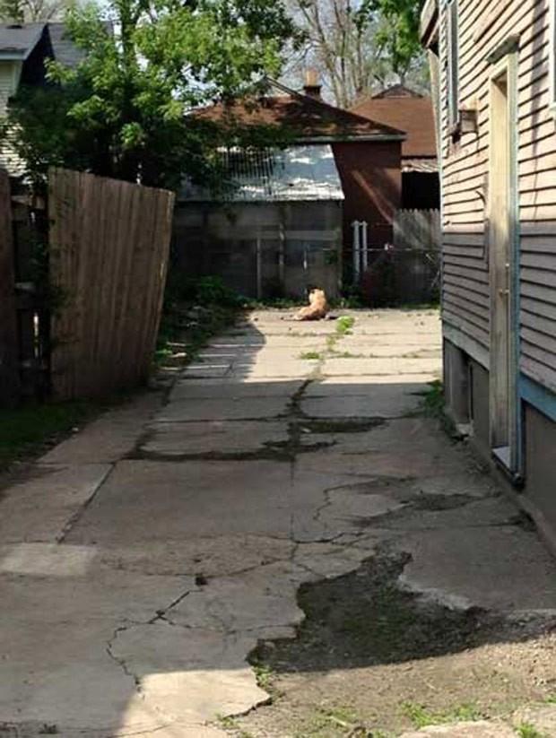 Morador ligou para a emergência após flagrar o que parecia ser um tigre  (Foto: Reprodução/Facebook/Kent County Animal Shelter)