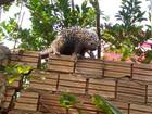 Porco-espinho é capturado no quintal de casa em Ariquemes, RO