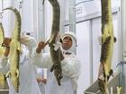 Frigorífico em MS trabalha com cria e abate de jacarés pantaneiros