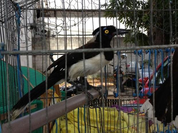 Mais de oitenta aves silvestres foram apreendidas no bairro do Nobre, em Paulista, na Região Metropolitana do Recife, na manhã desta sexta-feira (25). Um homem de 22 anos foi detido e, depois de lavrado um Termo Circunstaciado de Ocorrência (TCO), ele foi liberado, mas deverá pagar multa por cada ave variando de R$ 200 a R$ 5.000. Segundo a polícia, os animais seriam vendidos em feiras livres de Paratibe, Abreu e Lima e Cordeiro. A prisão aconteceu depois de uma denúncia anônima. (Foto: Kety Marinho/TV Globo)