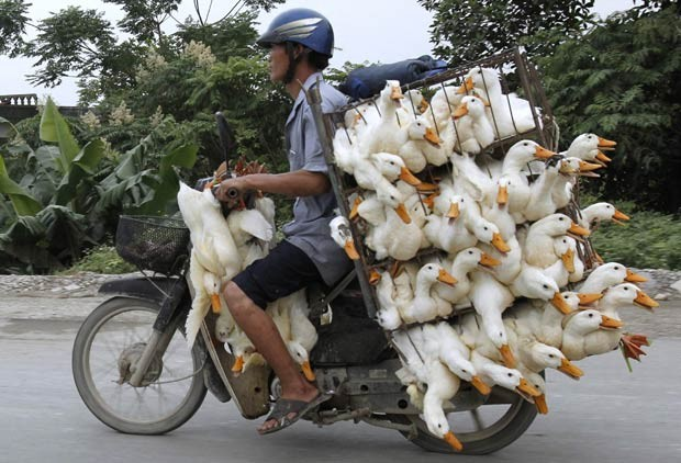 Homem transporta patos engaiolados em moto na província de Nam Ha, próximo a Hanói, capital do Vietnã, nesta quinta-feira (31) (Foto: Kham/Reuters)