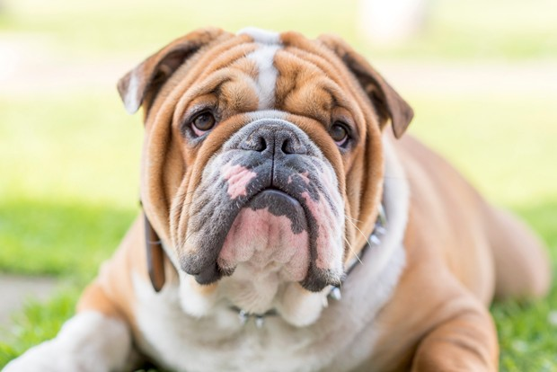 Cute English bulldog portrait,selective focus (Foto: Getty Images/iStockphoto)