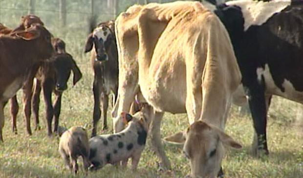 Porcos seguem as vacas pelo pasto para poderem mamar. (Foto: Reprodução/TV Gazeta)