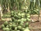 Em PE, boa fase do coco anima os produtores do Vale do São Francisco