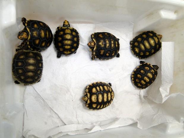 Tartarugas e jabutis estão entre animais mais apreendidos e resgatados pelo IAP (Foto: Divulgação/IAP)