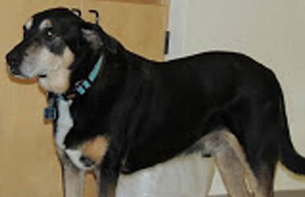 Cães tem dez vezes mais receptores olfativos do que humanos e identificam substâncias químicas de tumores (Foto: AM Hinson)