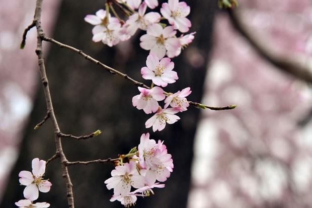 Cerejeiras em parque de Tóquio, no Japão (Foto: Yoshikazu Tsuno/AFP)