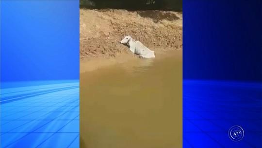 Polícia Ambiental resgata boi atolado em barranco de rio em Cerquilho