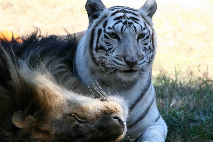 (Foto: Big Cat Rescue (Reprodução))